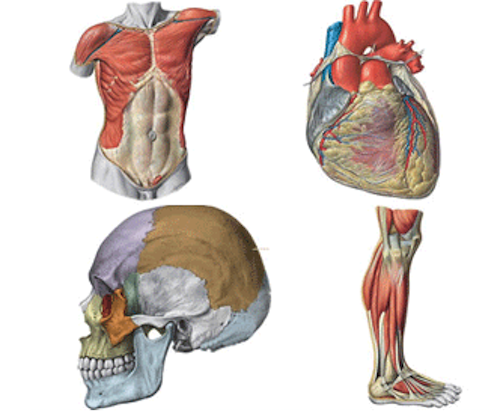 Anatomy and Physiology Course in Bromley, Orpington & London | AABY